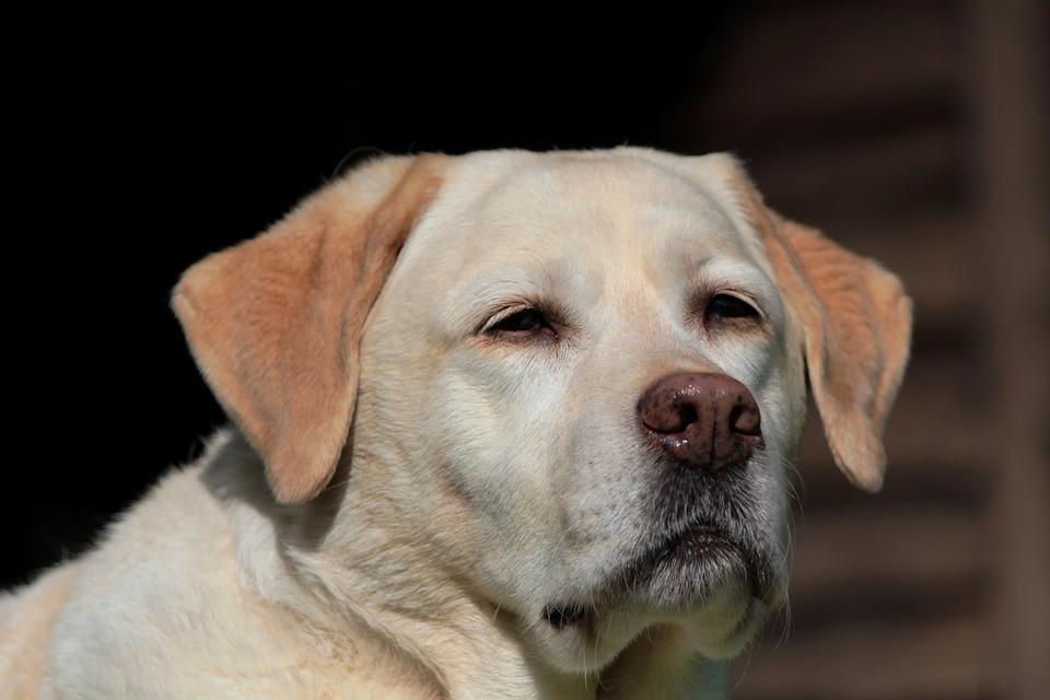 Labrador, Retriever, Dog, Pet, Yellow, Portrait